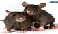 موش های تهران اهل کدام کشور هستند؟